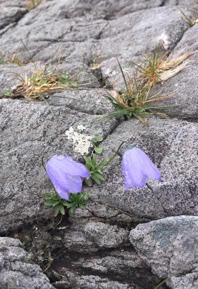 Harebell_growing_on_mountain_rock