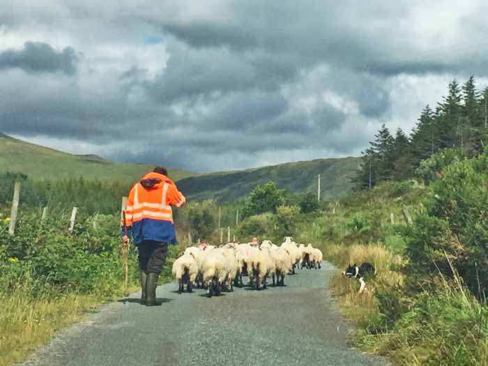 Image of farmer driving sheep along the road.