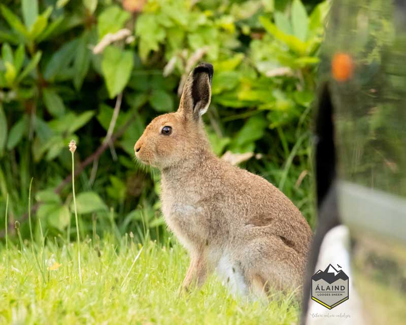 The Kerry Mountain Hare is one of our frequent wildlife visitors.